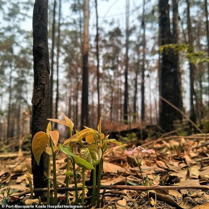 En Australia miles de animales, personas y casas se han visto afectado por los incendios forestales, cientos de metros cuadrados de bosques han desaparecido por las llamas presentadas en este país. Según un reporte de la NASA, el problema es tan increíble, que los incendios se pueden ver desde el espacio